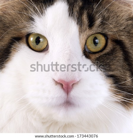 portrait of a purebred  maine coon cat on a white background