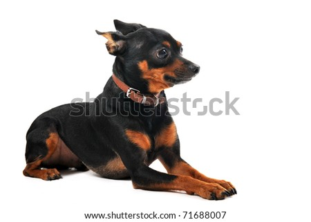 portrait of a purebred miniature pinscher on a white background
