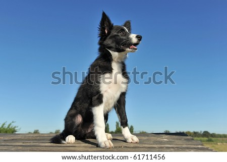 portrait of a purebred puppy border collie on a blue sky