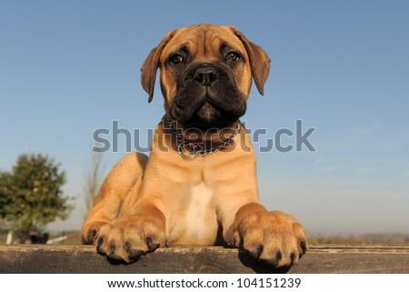 portrait of a purebred puppy Bull Mastiff #104151239