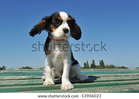 portrait of a purebred puppy cavalier king charles