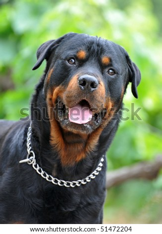 portrait of a purebred rottweiler in a garden