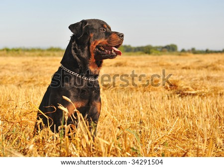 portrait of a purebred rottweiler in a meadow of wheat