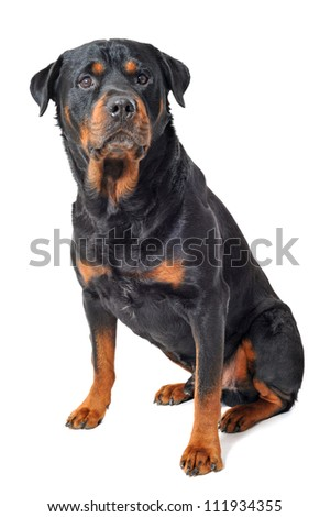 portrait of a purebred rottweiler in front of white background