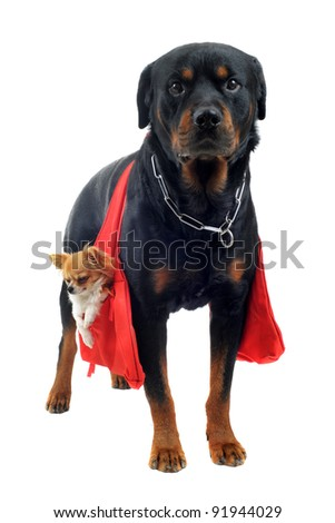 portrait of a purebred rottweiler who holding a chihuahua in a bag in front of white background - stock photo