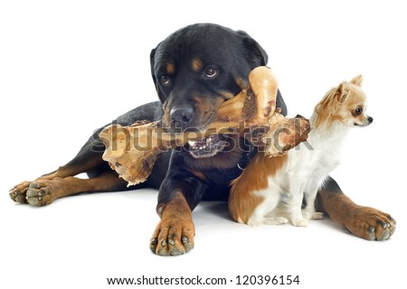 portrait of a purebred rottweiler with bone and chihuahua in front of white background