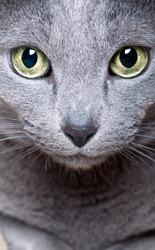 Portrait of a purebred Russian blue Cat