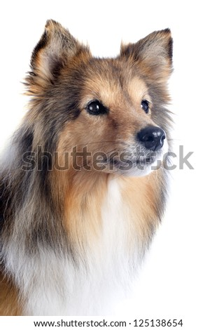 portrait of a purebred shetland dog in front of white background - stock photo
