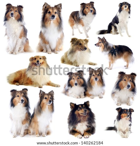 portrait of a purebred shetland dogs in front of white background