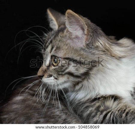 Portrait of a purebred Siberian kitten on a black background