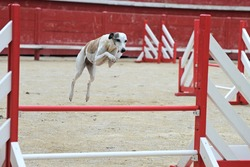 portrait of a purebred  whippet jumping in a competition