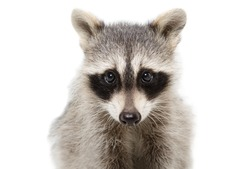 Portrait of a raccoon closeup isolated on white background
