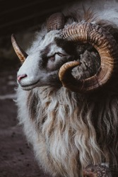 Portrait of a ram ,furry tur with curved big horns. Mountain sheep, goat close up portrait . Bighorn ram posing