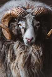 Portrait of a ram with curved big horns. Mountain sheep close up. Bighorn ram at Skansen.