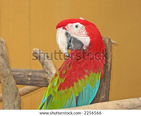 Portrait of a red and green macaw (Ara chloropterus)