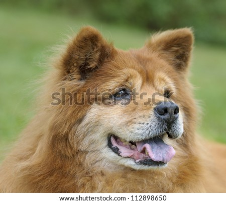 Portrait of a Red Chow