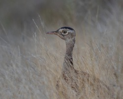Portrait of a red-crested korhaan walking in long grass
