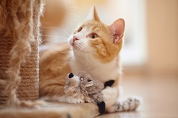 Portrait of a red domestic cat on a floor with a toy.