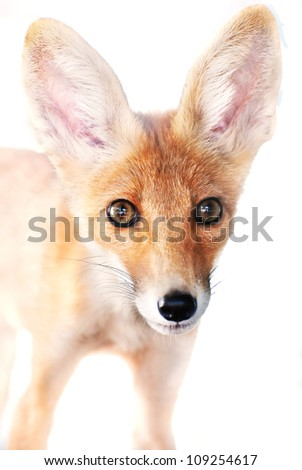 Portrait of a red fox isolated on white background