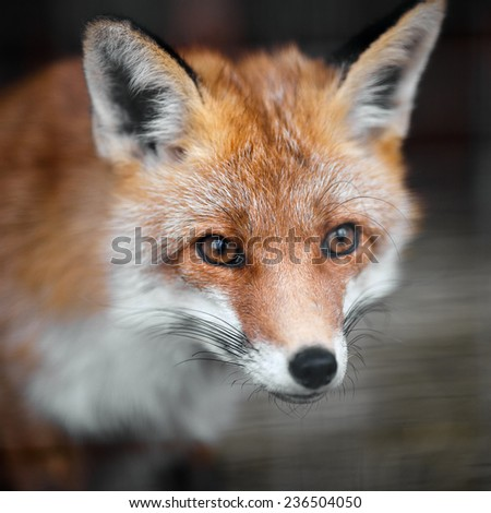 Portrait of a red fox male, vulpes vulpes.  #236504050
