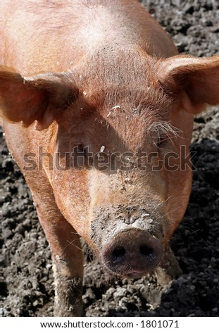 Portrait of a red-haired pig standing in mud.