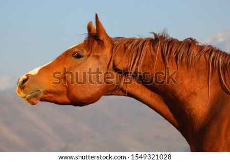 portrait of a red horse of the Arabian purebred breed on a background of mountains, a purebred Arabian horse,