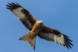 Portrait of a red kite (milvus milvus) with spread wings flying in the blue sky