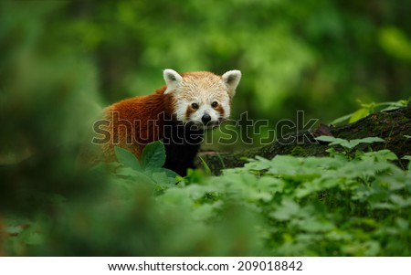 Portrait of a Red Panda ( Ailurus fulgens )