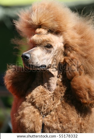 Portrait Of A Red Standard Poodle Stock Photo 55178332 : Shutterstock