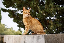 Portrait of a red tabby European Shorthair cat sitting on a brick wall with an attentive and excited expression. Cat is sitting outside in the park.