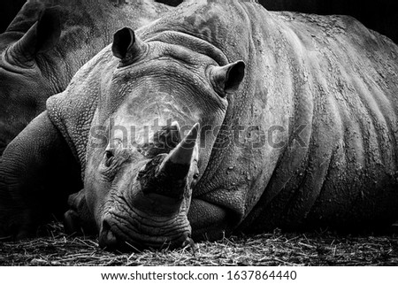 Portrait of a rhinoceros (Retrato de un Rinoceronte)