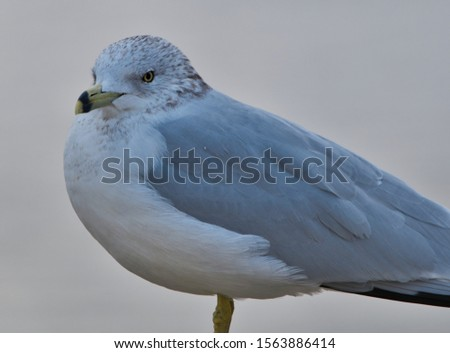 portrait of a ring billed gull