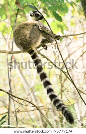 portrait of a ring-tailed lemur in natural habitat madagascar