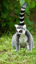portrait of a ring-tailed lemur (Lemur catta) animal in the grass in a zoo