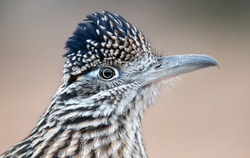 Portrait of a road runner