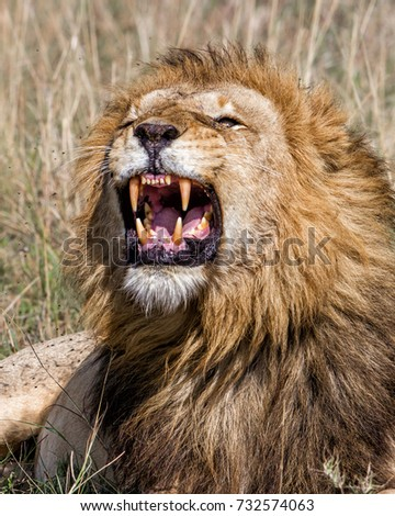 Portrait of a roaring male lion in the Masai Mara National Park - Kenya #732574063