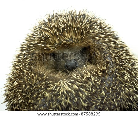 portrait of a rolled-up young hedgehog. Studio photography in white back
