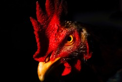Portrait Of A Rooster's Head. Isolated Over Black Background.