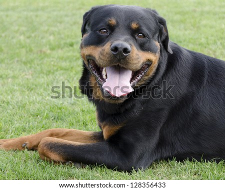 Portrait of a Rottweiler dog laying on a green grass.