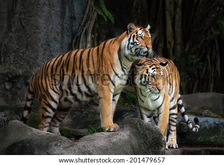 stock photo portrait of a royal bengal tiger 201479657 - Каталог — Фотообои «Животные»