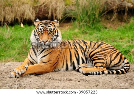 Portrait of a Royal Bengal tiger alert and staring at the camera #39057223