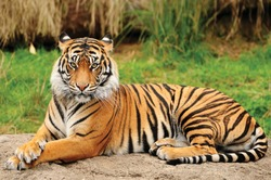 Portrait of a Royal Bengal Tiger alert and Staring at the Camera. National Animal of Bangladesh