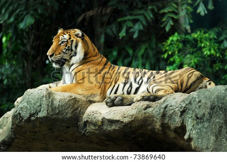 Portrait of a Royal Bengal tiger sit on the rock