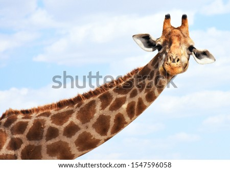 Portrait of a ruminating giraffe #1547596058