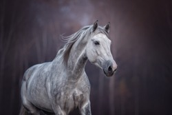 Portrait of a running arabian horse.