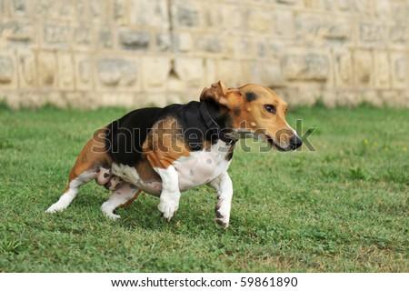 portrait of a  running purebred basset artesien (basset hound)