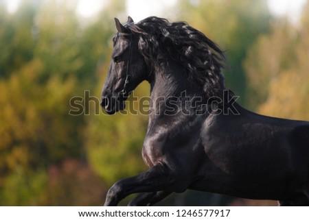 portrait of a running stallion of a black Friesian horse in autumn, summer