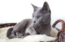 Portrait of a Russian Ble Cat on Lambskin in Wicker Basket