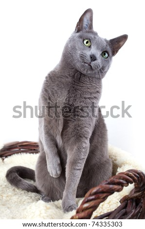 Portrait of a Russian Ble Cat on Lambskin in Wicker Basket - stock photo