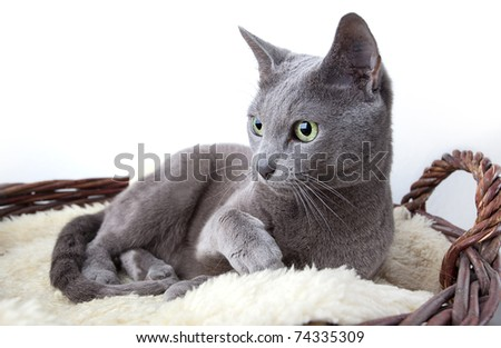 Portrait of a Russian Ble Cat on Lambskin in Wicker Basket